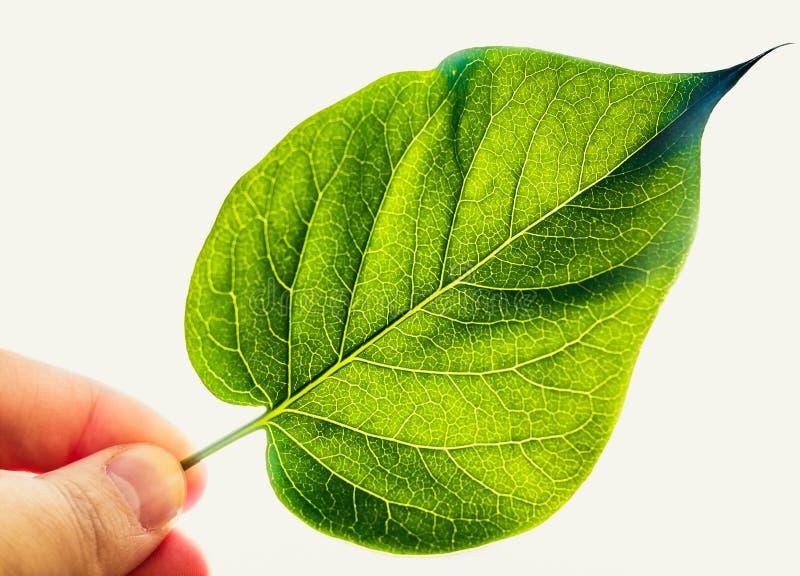 Download Groen Die Blad Op Witte Achtergrond Wordt Geïsoleerd Stock Afbeelding - Afbeelding bestaande uit vinger, flora: 39100673