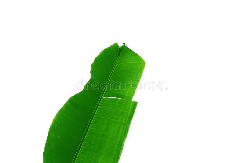 Groen die blad van banaanboom, vorm op witte achtergrond wordt geïsoleerd stock afbeeldingen