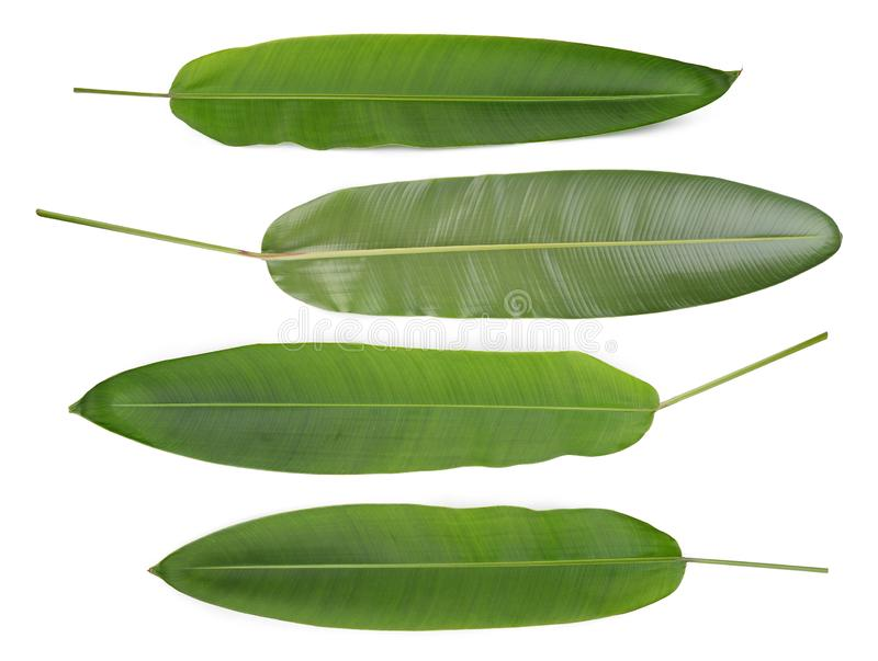 Groen die blad van heliconiabloem op witte, tropische bloem wordt geïsoleerd stock afbeelding