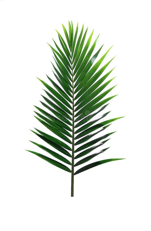 Groen die blad van Kokosnotenpalm op witte achtergrond wordt geïsoleerd stock foto's
