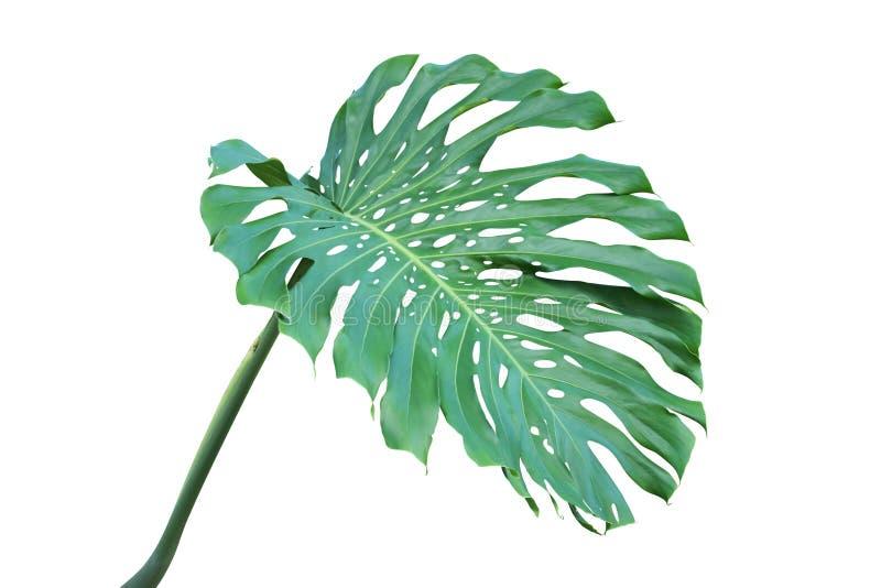Groen die Blad van Monstera-deliciosa, Emmentalerinstallatie op Witte Achtergrond wordt geïsoleerd royalty-vrije stock afbeeldingen