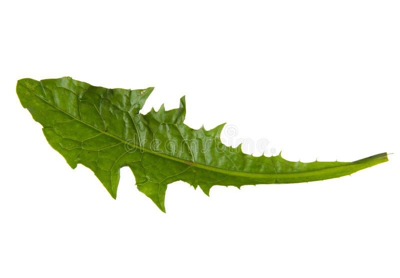 Groen die blad van paardebloem op witte achtergrond wordt geïsoleerd stock foto