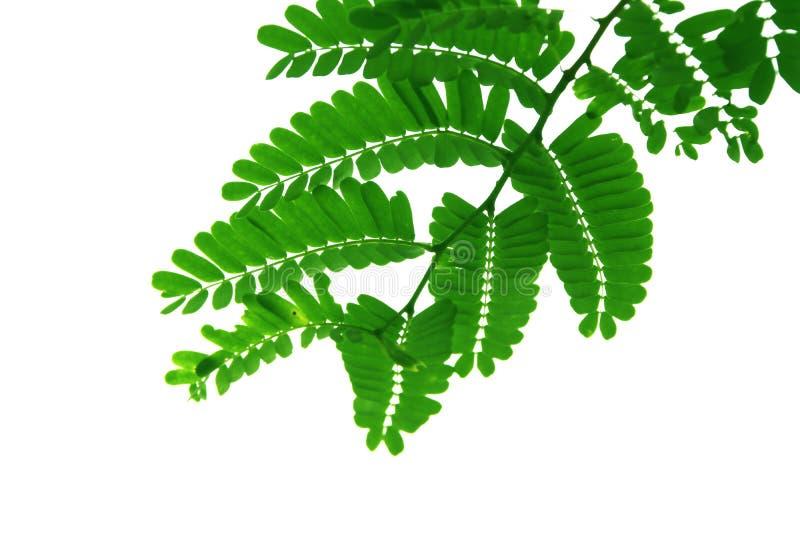 Groen die blad van tamarindeboom, vorm op witte achtergrond wordt geïsoleerd royalty-vrije stock fotografie