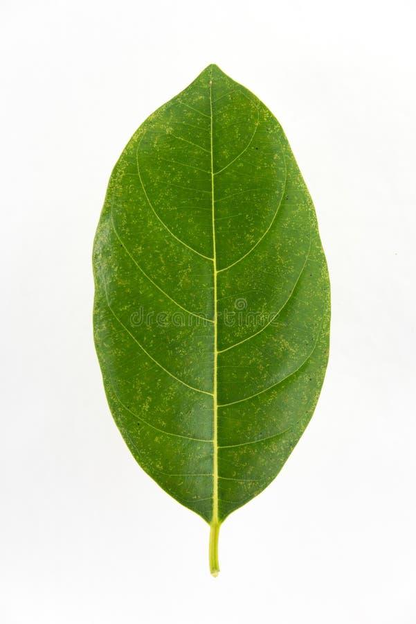 Groen die jackfruitblad op witte achtergrond wordt geïsoleerd stock afbeelding