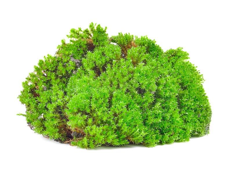 Groen die mos op witte bakground wordt geïsoleerd stock fotografie