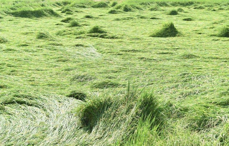 Groen die padieveld na onweer in Thailand wordt overgegaan royalty-vrije stock foto's