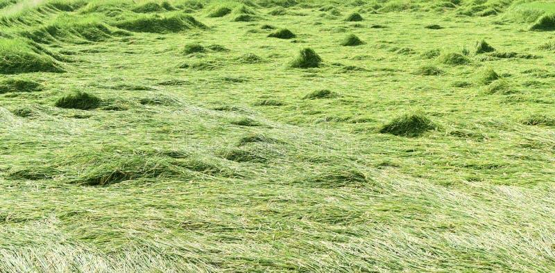 Groen die padieveld na onweer in Thailand wordt overgegaan stock foto's