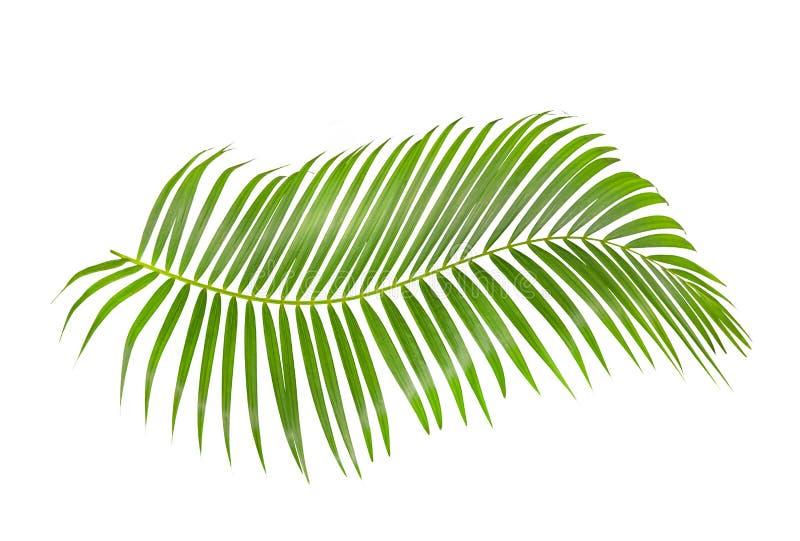 Groen die palmblad op witte achtergrond met het knippen van weg wordt geïsoleerd stock afbeelding