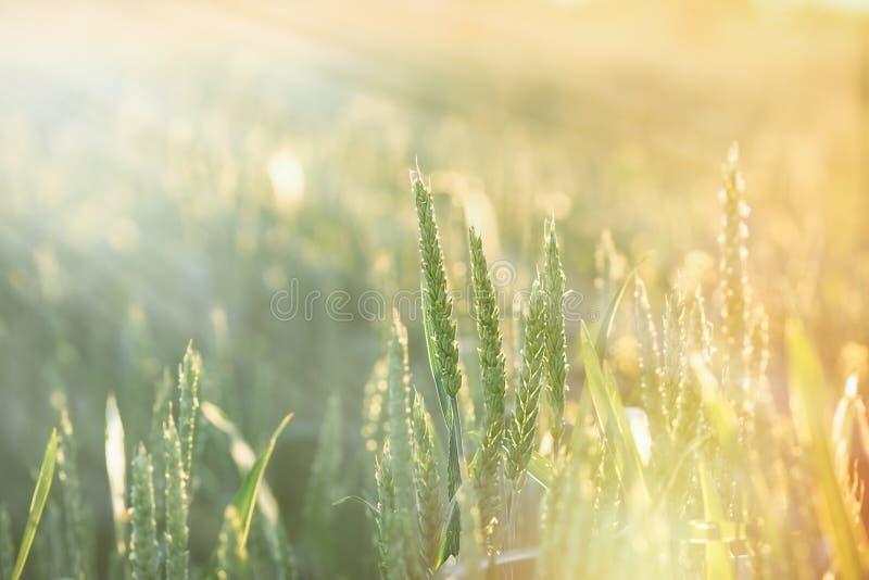 Groen die tarwegebied door zonstralen wordt aangestoken, door zonlicht stock fotografie