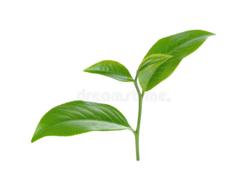 Groen die theeblad op witte achtergrond wordt geïsoleerd stock foto's