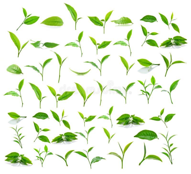 Groen die theeblad op witte achtergrond wordt geïsoleerd stock afbeeldingen