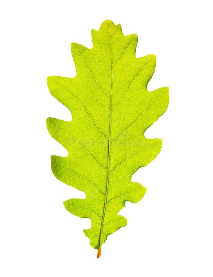 Groen eiken blad royalty-vrije stock afbeeldingen