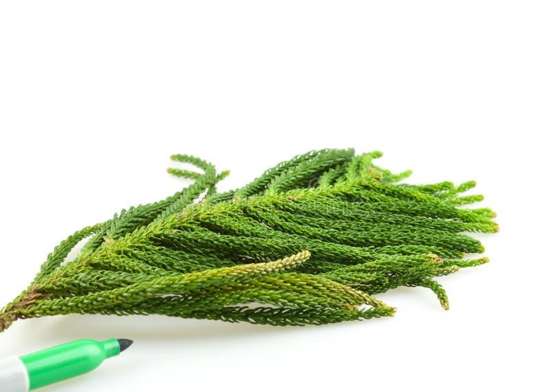 Groen eiken die blad over witte achtergrond wordt geïsoleerd stock fotografie