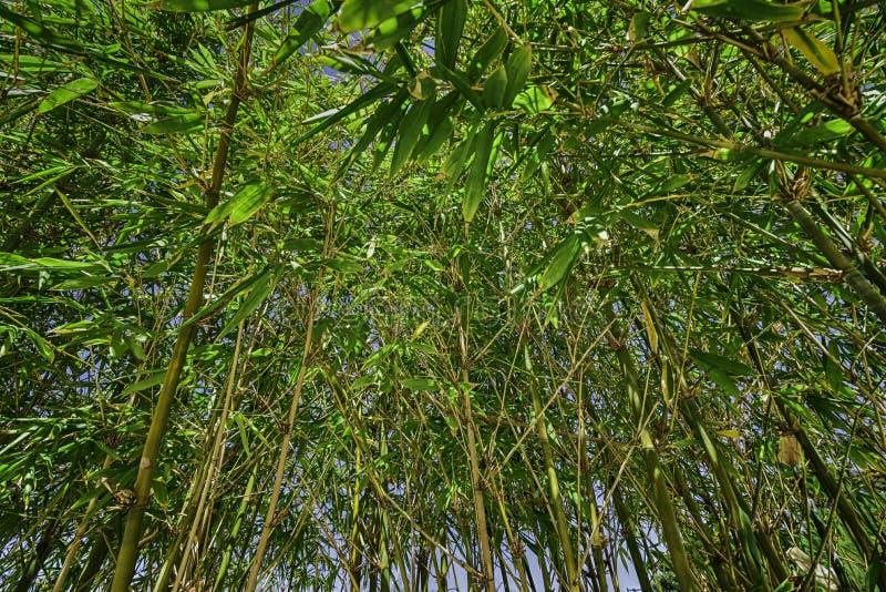Groen en geel bamboebos stock foto