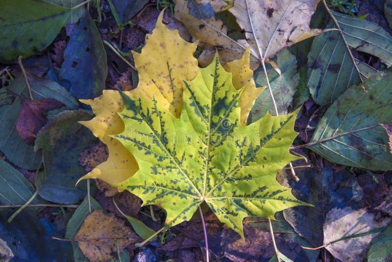 Groen en geel de herfstblad stock foto