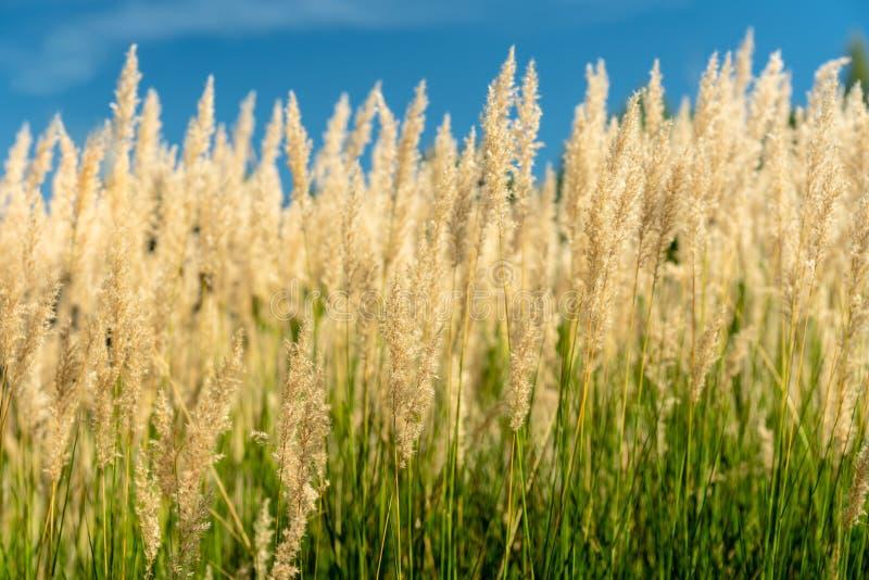 Groen en gouden grasstro die in zonneschijn tegen een blauw gloeien royalty-vrije stock foto's
