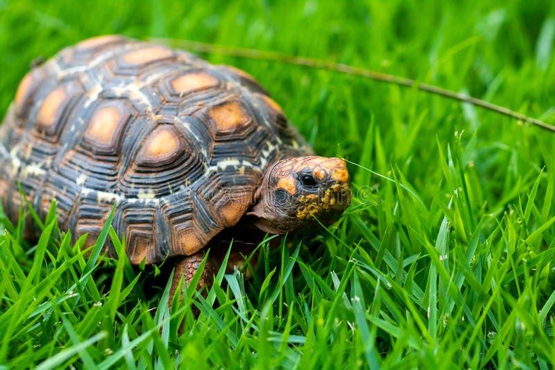 Groen en oranje Jabuti/Schildpad, stil op het gras die met het landschap camoufleren, royalty-vrije stock foto's