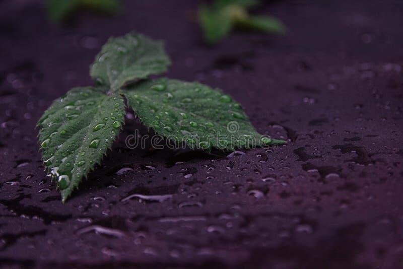 Groen en vers Blackberry-blad royalty-vrije stock foto's