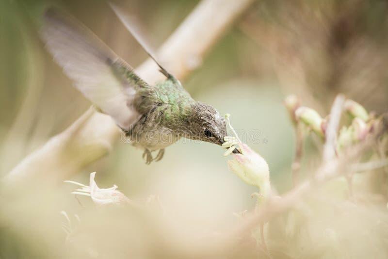 Groen-en-witte Kolibrie in Cuzco, Peru stock foto's
