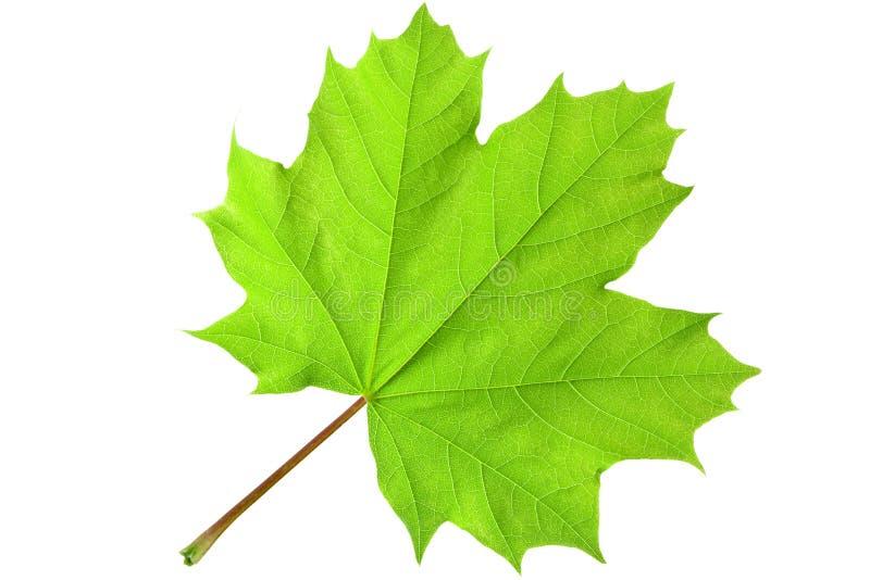 Groen esdoornblad stock afbeeldingen