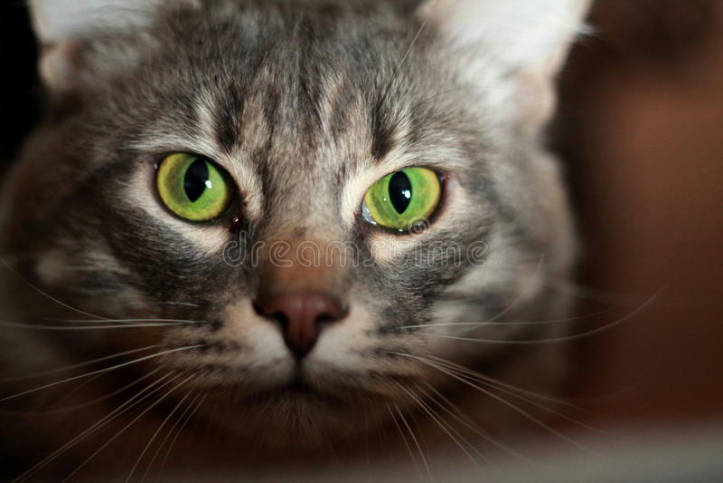 Groen-eyed Kat royalty-vrije stock foto
