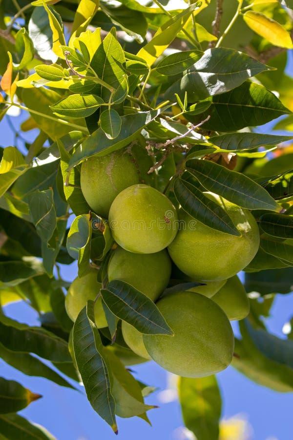 Groen fruit van Witte Sapote, het Mexicaanse appel groeien in Australië stock afbeelding