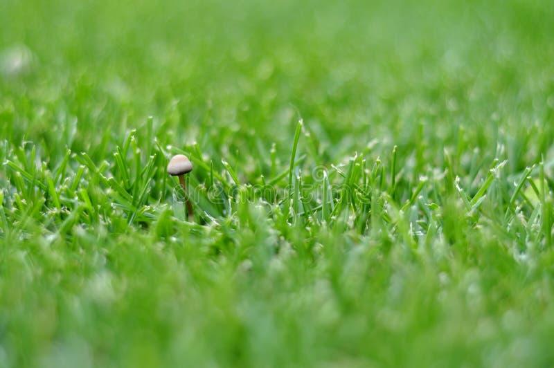 Groen gazon met paddestoel voor achtergrond royalty-vrije stock afbeeldingen