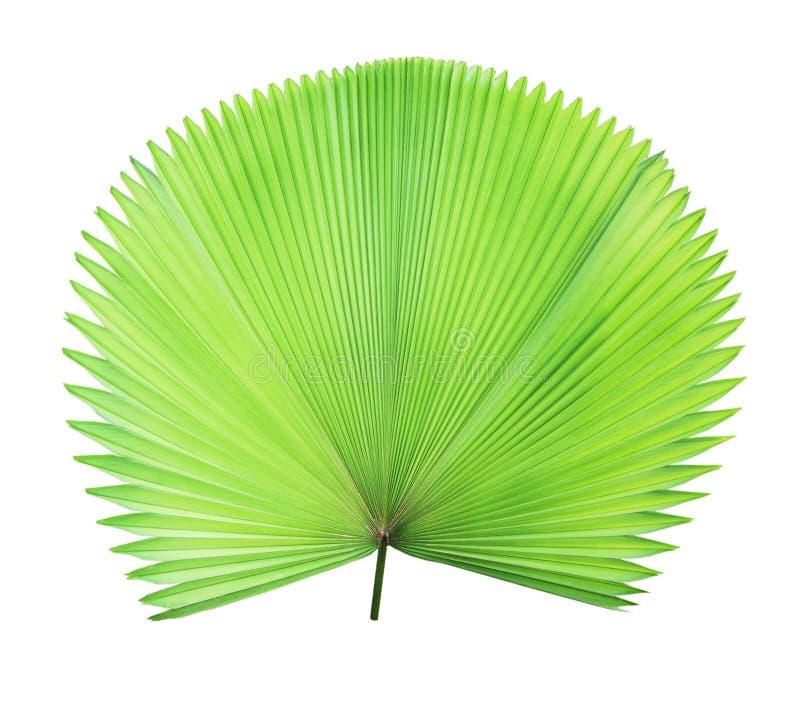 Groen geïsoleerd palmblad stock afbeeldingen