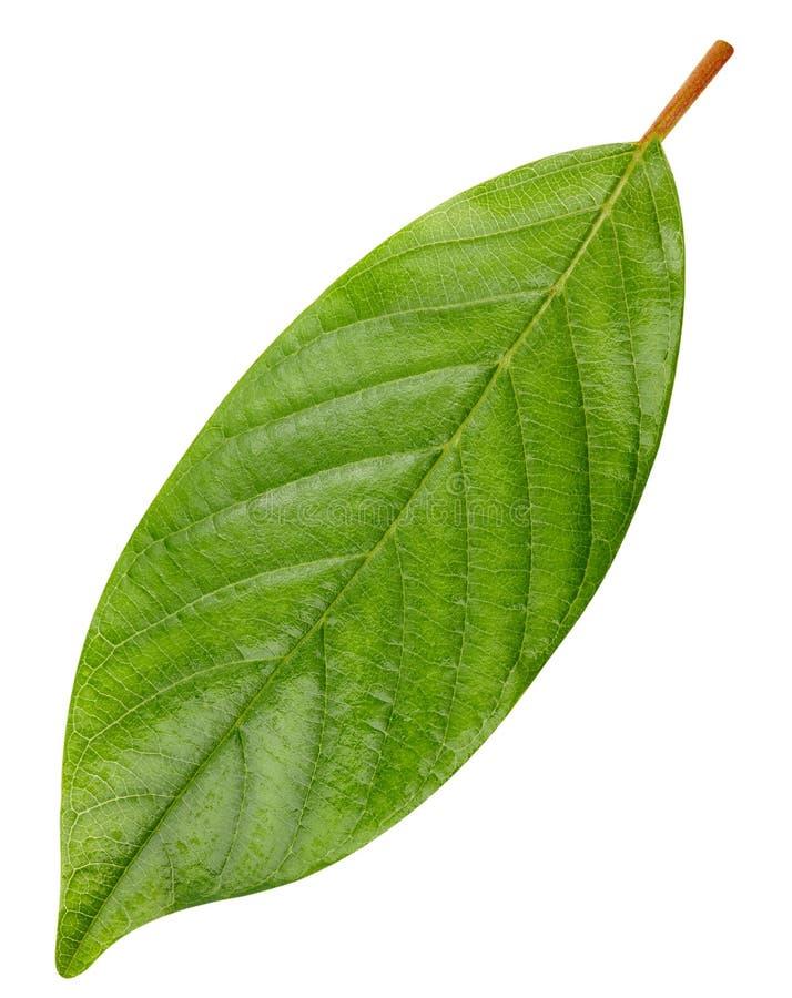 Groen geïsoleerdn blad stock foto