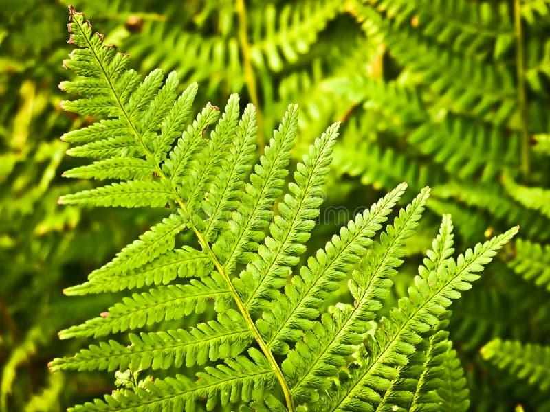 Groen geïsoleerds blad stock afbeelding