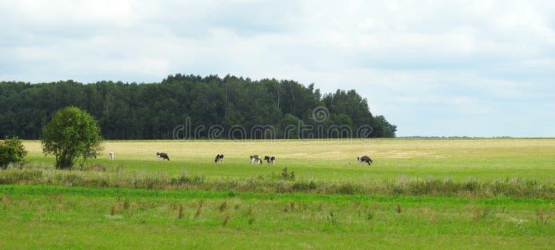 Groen gebied en koedier, Litouwen royalty-vrije stock foto's