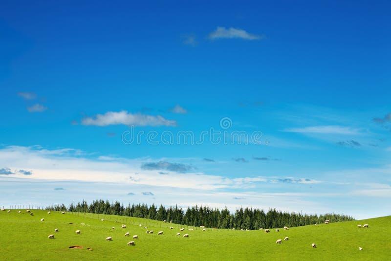 Groen gebied en weidende schapen royalty-vrije stock fotografie