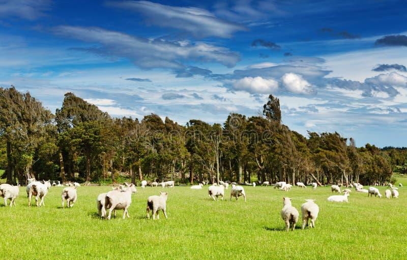 Groen gebied en weidende schapen stock foto's