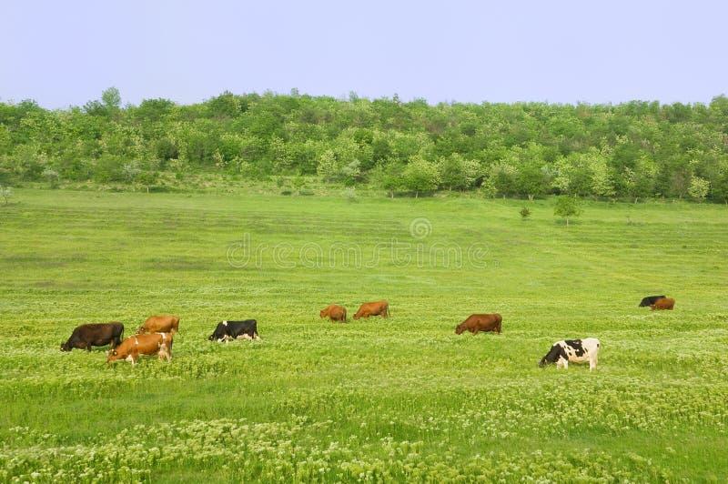 Groen gebied met koeien stock foto