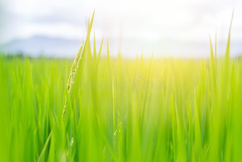 Groen gebied met zonlicht mooi van rijst royalty-vrije stock foto's
