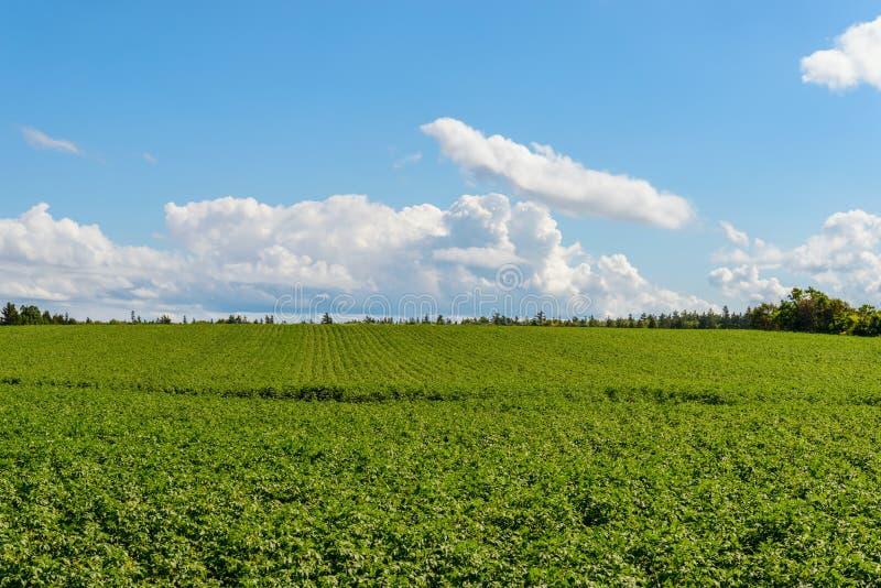 Groen gebied van aardappels stock afbeeldingen