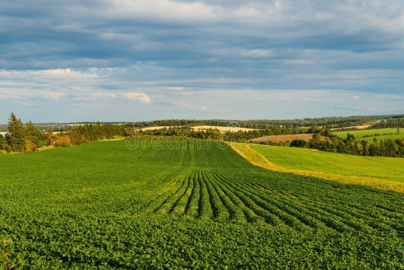 Groen gebied van aardappels stock foto