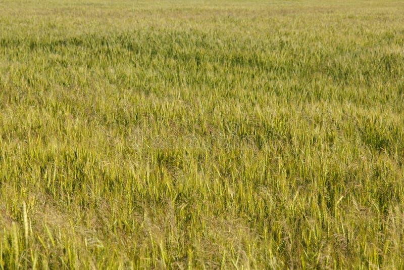 Download Groen Gebied Van Graangewassen Stock Foto - Afbeelding bestaande uit zaad, achtergrond: 107703324