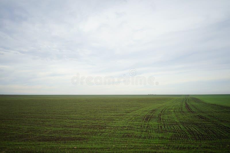 Groen gebied van het kweken van tarwe stock afbeeldingen