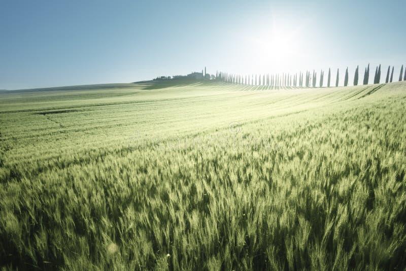 Groen gebied van tarwe en landbouwbedrijfhuis, Toscanië stock afbeeldingen