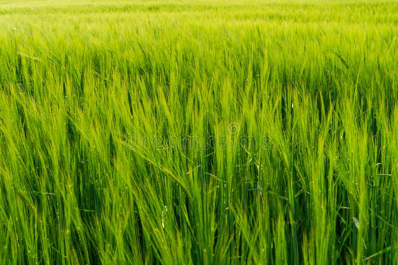 Groen gebiedshoogtepunt van tarwe stock afbeeldingen