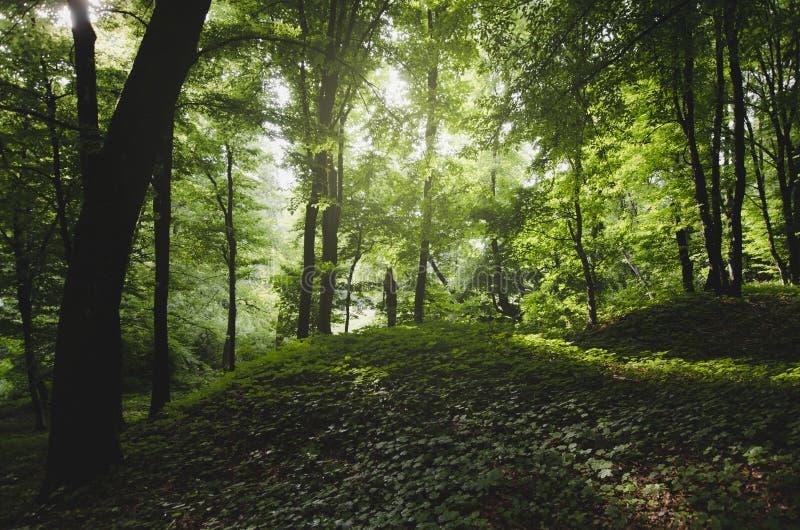 Groen gebladerte in natuurlijk bos stock afbeelding