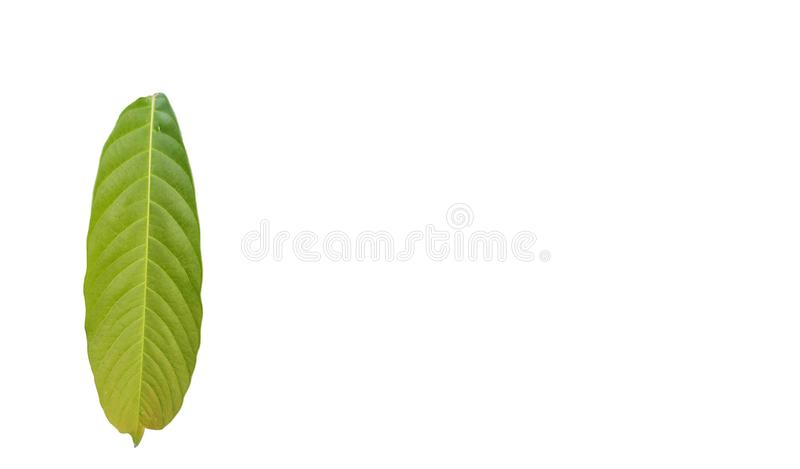 Groen gebladerte tropisch blad met exemplaarruimte isolatde op witte achtergronden stock afbeelding
