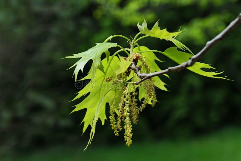 Groen-gele de lentebladeren en langzaam verdwijnende gehangen bloemen van Noordelijke Rode Eiken, Latijnse naamquercus Rubra, royalty-vrije stock afbeeldingen