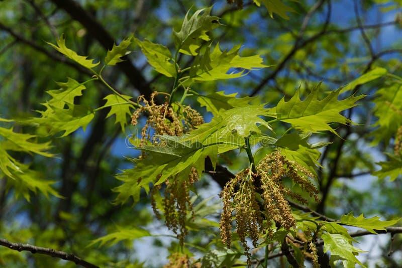 Groen-gele de lentebladeren en langzaam verdwijnende gehangen bloemen van Noordelijke Rode Eiken, Latijnse naamquercus Rubra stock fotografie