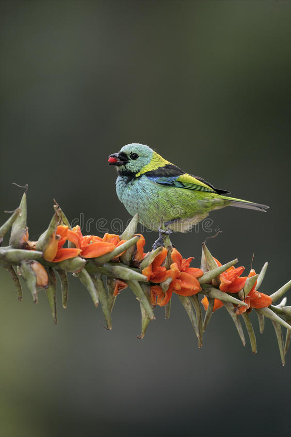 Groen-geleid tanager, Tangara seledon royalty-vrije stock fotografie