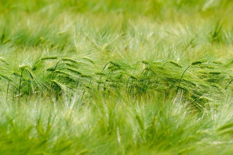 Groen Gerstgebied stock afbeeldingen