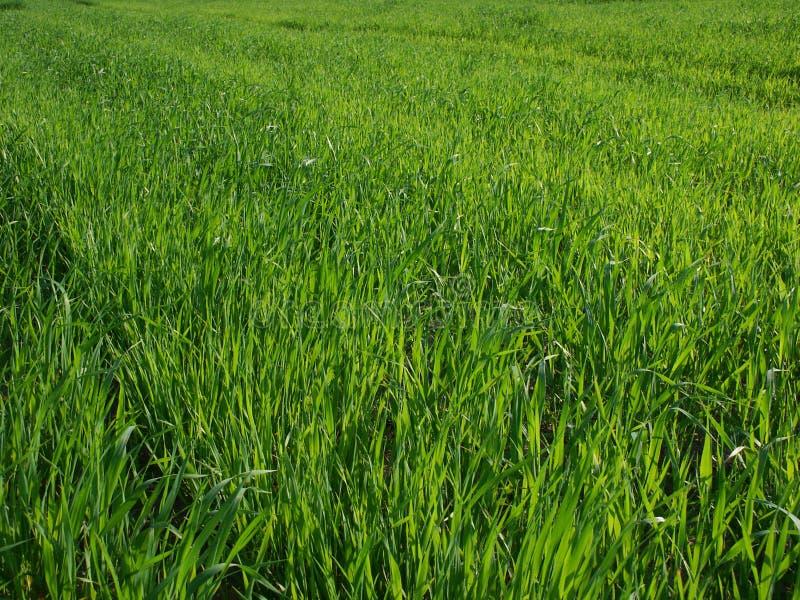 Groen gras stock afbeeldingen