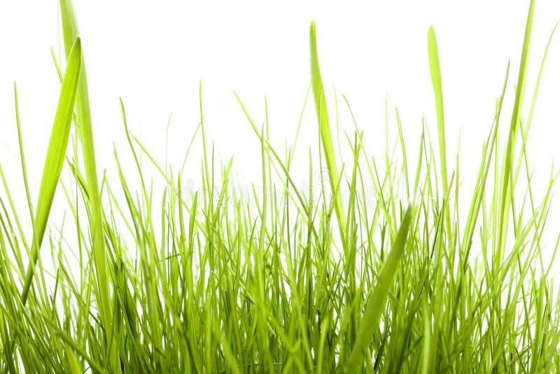 Groen Gras dat op wit wordt geïsoleerdo royalty-vrije stock afbeelding