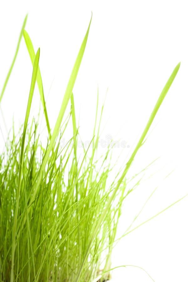 Groen Gras dat op wit wordt geïsoleerdt royalty-vrije stock foto